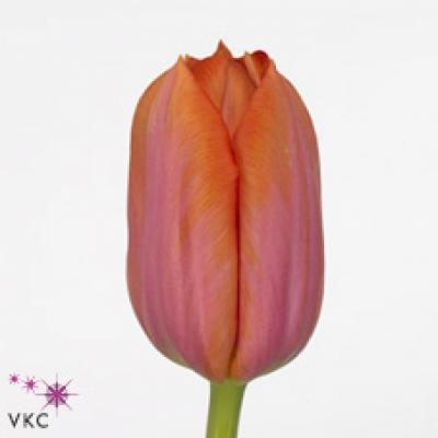 Tulipán EN ORANGE DYNASTY