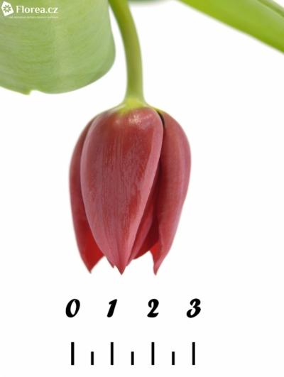 Tulipán EN PALLADA