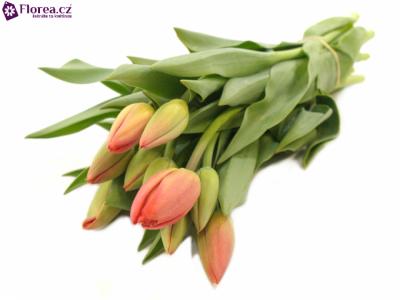 Tulipán EN PARADE ROOD 26cm/24g
