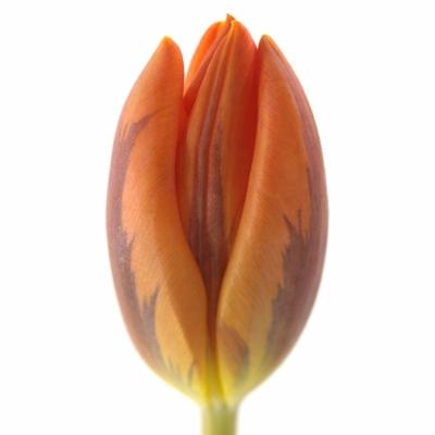 Tulipán EN PRINSES IRENE