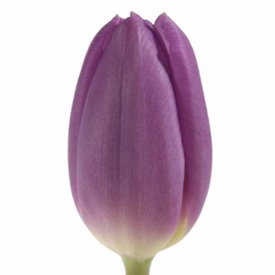 Tulipán EN PURPLE FLAG 39cm/25g