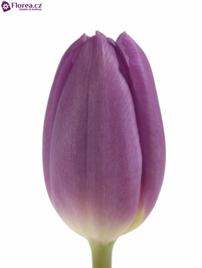 Tulipán EN PURPLE FLAG 39cm/25g