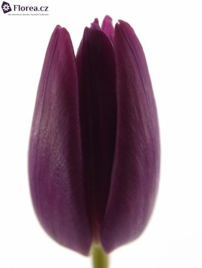 Tulipán EN PURPLE PRINCE 35cm/27g