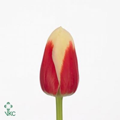 Tulipán EN ROMAN EMPIRE