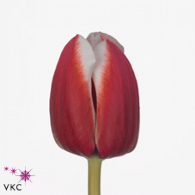 Tulipán EN SAMOA