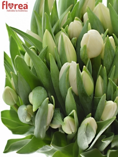 Tulipán EN SILVER DOLLAR