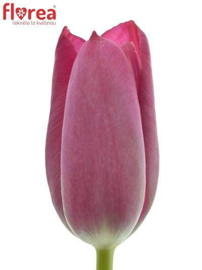 Tulipán EN SWEET ROSY 25g