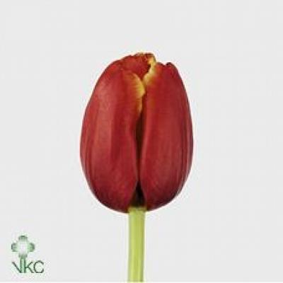 Tulipán EN TANSU CILLER