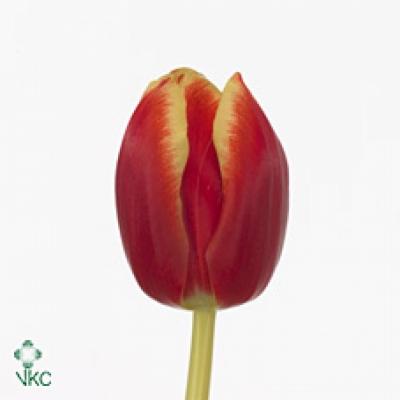 Tulipán EN UNGARO