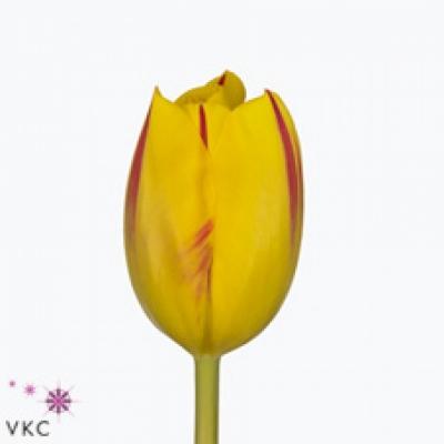 Tulipán EN WASHINGTON