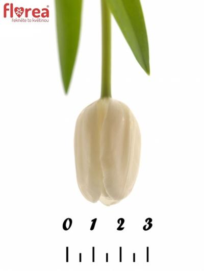 Tulipán EN WHITE DREAM 29cm/22g