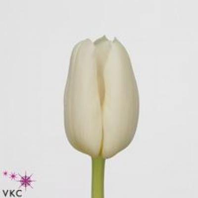 Tulipán EN WHITE DYNASTY