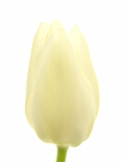 Tulipán EN WHITE MARVEL 20g