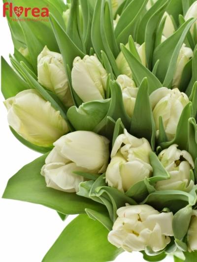 Tulipán EN WINTER PARROT