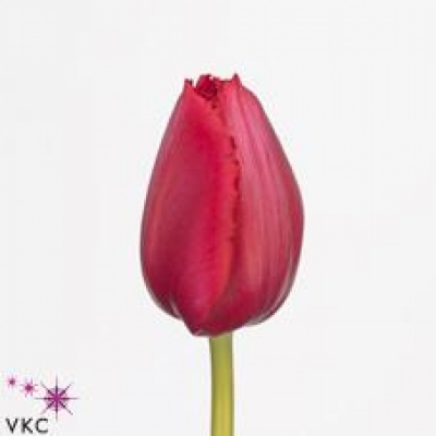 Tulipán FR AYERS ROCK