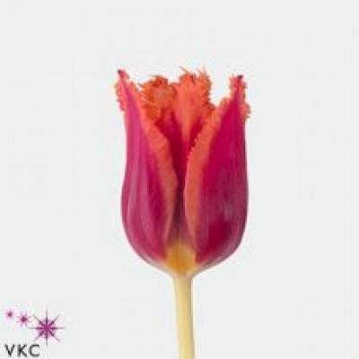 Tulipán FR GUSTO