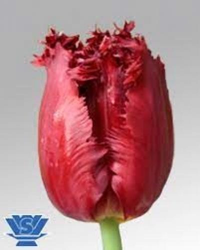 Tulipán FR VERSACI