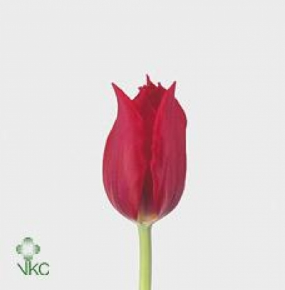 Tulipán LI PRETTY WOMAN