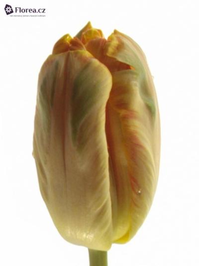Tulipán PA APRICOT PARROT
