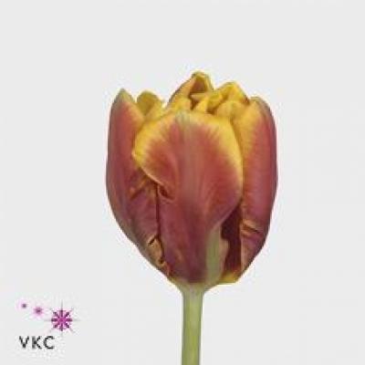 Tulipán PA BRIGHT PARROT