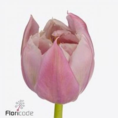 Tulipán PA FAVOURITE PRICE