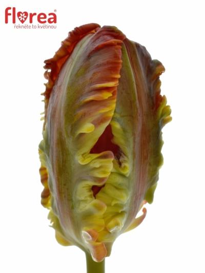 Tulipán PA ROCOCO 30cm/16g