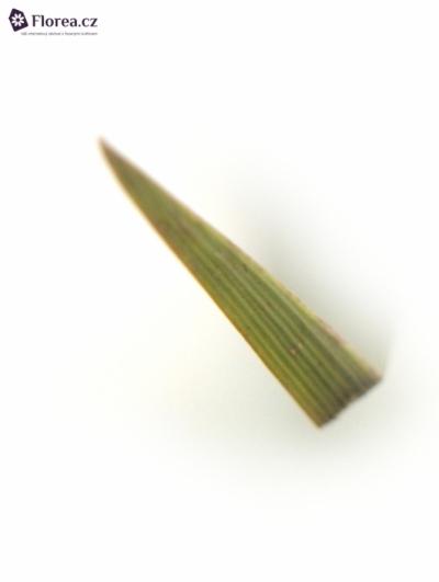 TYPHA 70cm