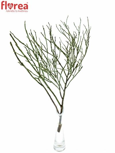VACCINIUM HUCKLEBERRY GREEN 50cm