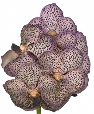 Orchidej COGNAC BEAUTY