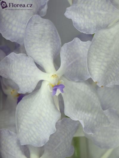 Orchidej KANCHANA LAVENDER MIST
