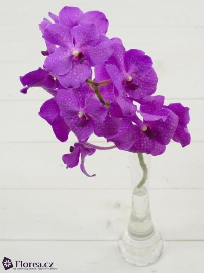 Orchidej NITAYA CANDY PINK