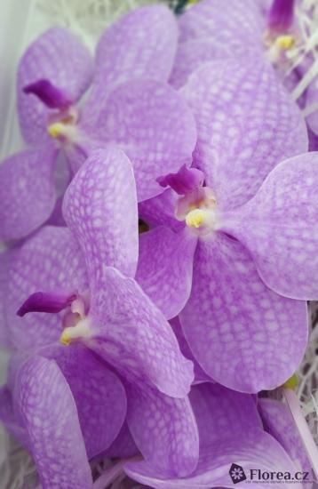 Orchidej NITAYA HOT FUCHSIA