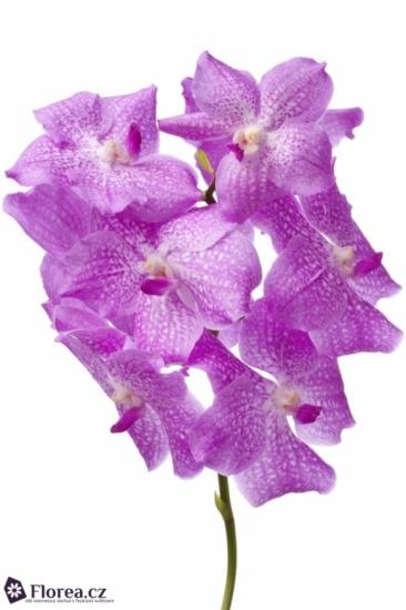 Orchidej NITAYA PASTEL PINK