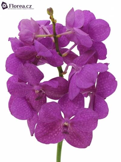 Orchidej TAYANEE CERISE