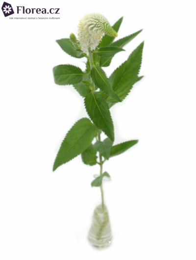 VERONICA L MELANI WHITE 65cm