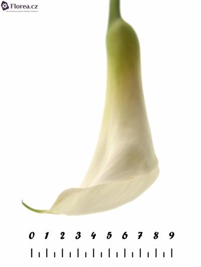 ZANTEDESCHIA AE INNOCENCE 85cm
