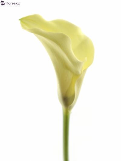 ZANTEDESCHIA ELEGANZA 70cm