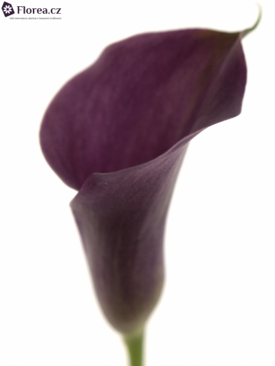 ZANTEDESCHIA HOT CHOCOLATE