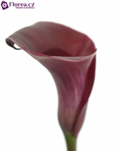 ZANTEDESCHIA MAJESTIC RED