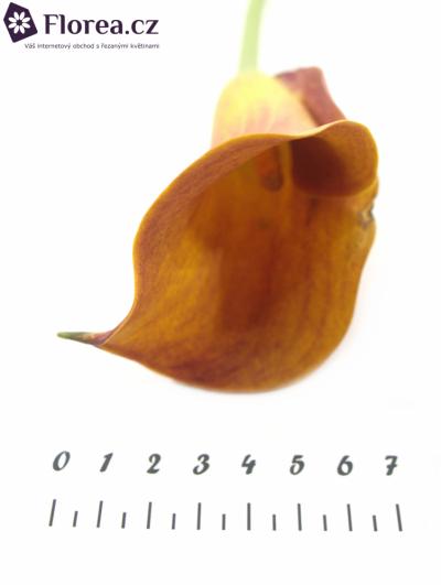 ZANTEDESCHIA MANGO 35cm
