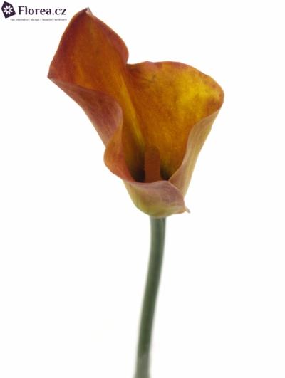 ZANTEDESCHIA TREASURE 60cm