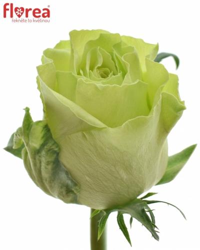 Zelená růže  CAMOUFLAGE! 60cm (L)