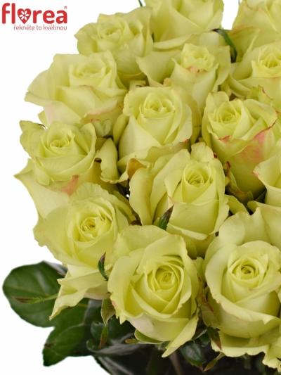 Zelená růže FAIRWAY