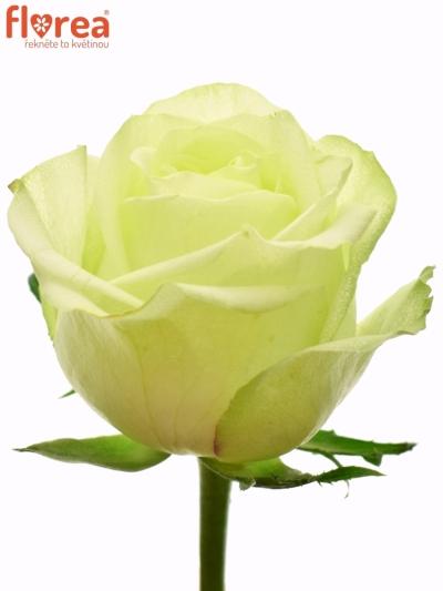 Zelená růže GREENWAY