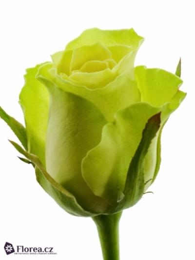 Zelená růže KRYPTON 40cm
