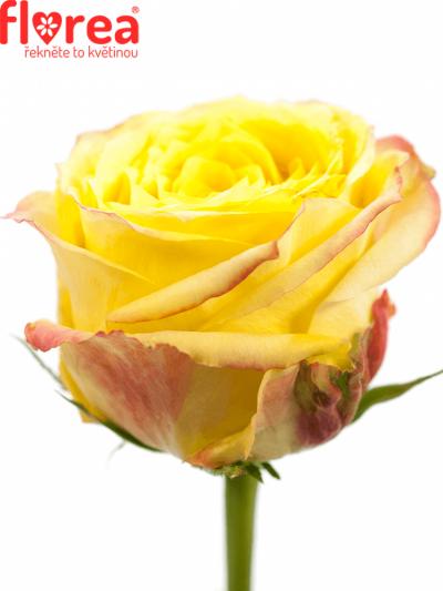 ROSA KRYPTONITE 50cm (L)