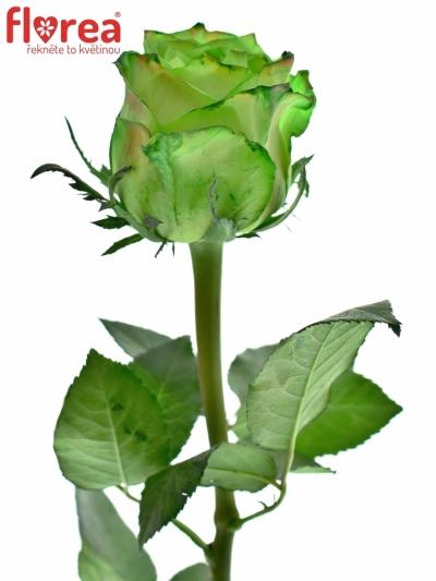 ROSA KRYPTONITE GREEN 60cm (XL)