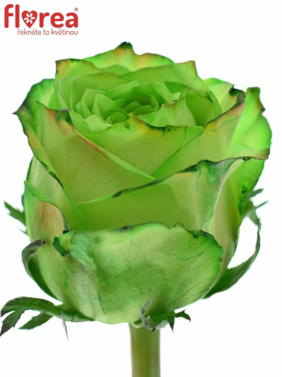 ROSA KRYPTONITE GREEN 70cm (XL)