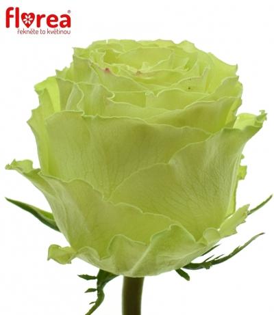 Zelená růže LEMONADE 80cm