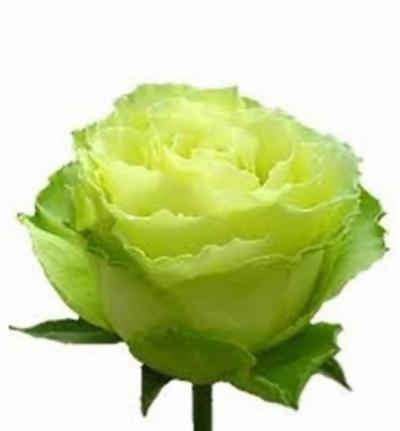 Zelená růže LIMBO 60cm